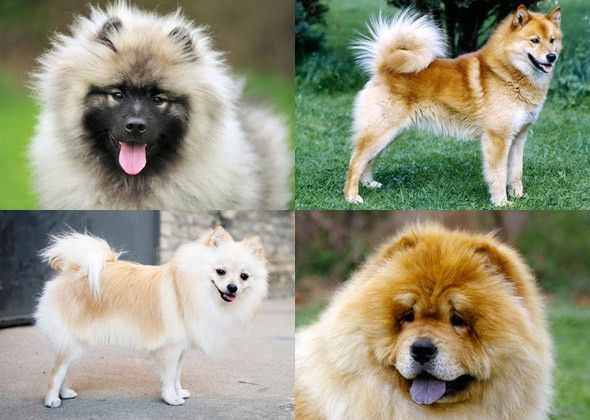 Dog Breeds You Might Not Know Are Related Dog Breeds Spitz Type