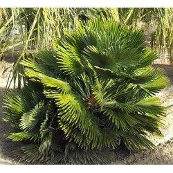 les 25 meilleures id es de la cat gorie palmier chamaerops sur pinterest palmier nain feuille. Black Bedroom Furniture Sets. Home Design Ideas