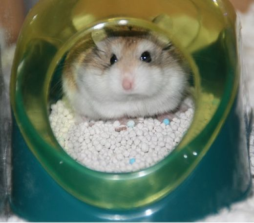 Believe it or not it is possible to train you hamster to potty in one spot. Because hamsters are clean animals, they generally go to the bathroom in one spot anyway, so all you have to do is find that corner and train him to use the litter box...