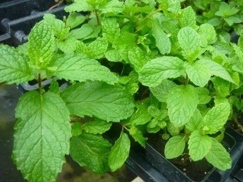 Mojito-Mint-Live-Plant-mentha-x-villosa-Garden-Best-Gift-New