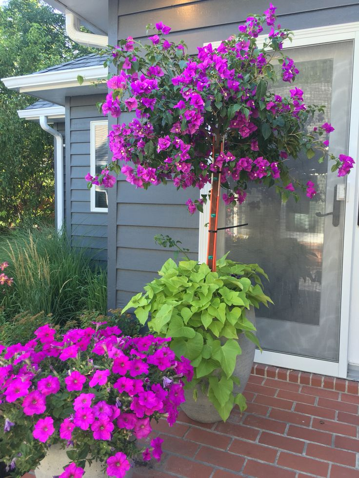 Bougainvillea Tree, Patio Flowers, Potted Plants, Full Sun, Potato Vine,  Petunia