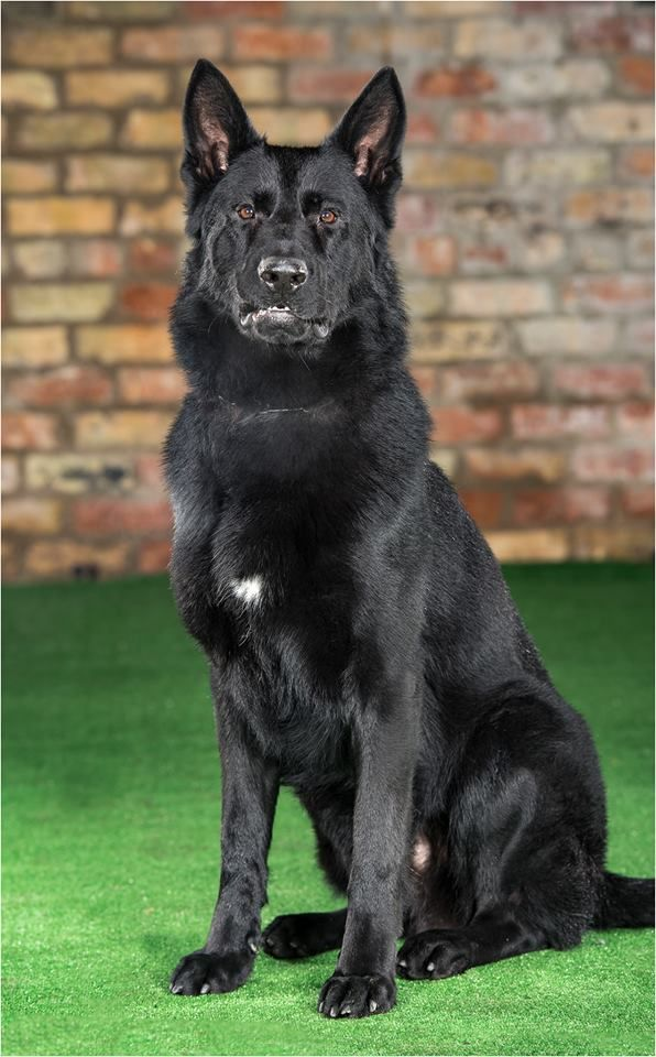 Zorro Black Shepherd One Serious And Fantastic Family Protection