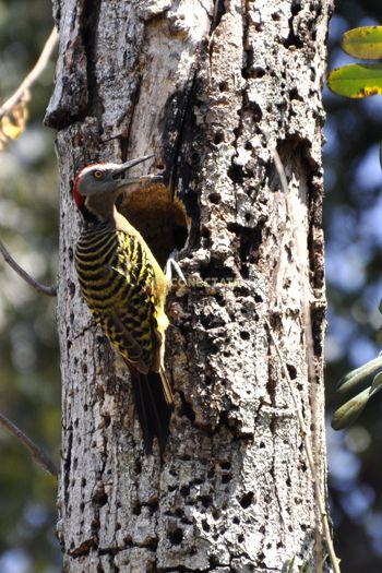 """Carpintero Melanerpes striatus 1  El carpintero de La Española o hispaniolan woodpecker es una especie endémica de ave que habita en casi todo tipo de bosque de nuestra isla.    Su nombre científico es Melanerpes striatus que significa """"trepador oscuro extraído""""."""