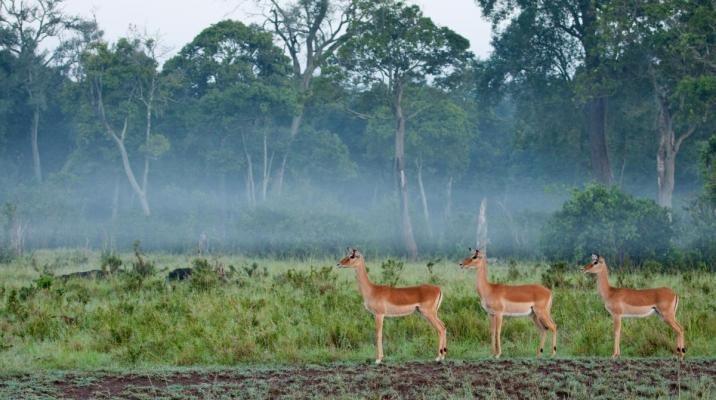 Impalaer på vagt i Masai Mara om morgenen på en safari i Kenya