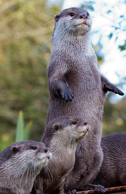 otters Okay okay keep it down now were are trying to stay calm now for more than five minutes... hey Bob, why ya sleeping? Sleepin doesn't count!