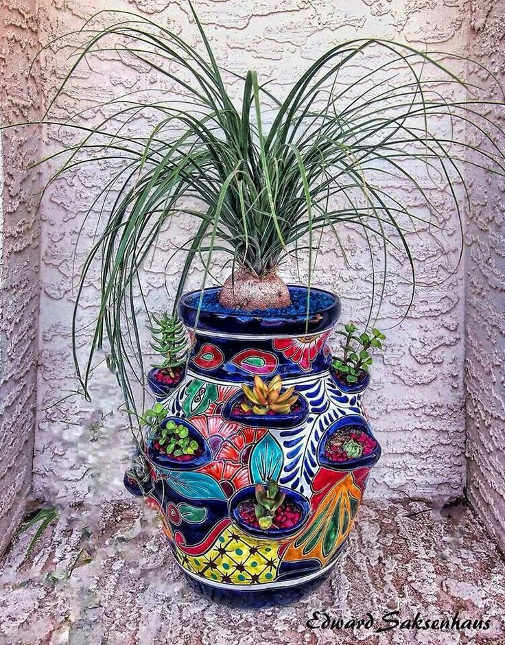 Ponytail palm in a Mexican strawberry pot