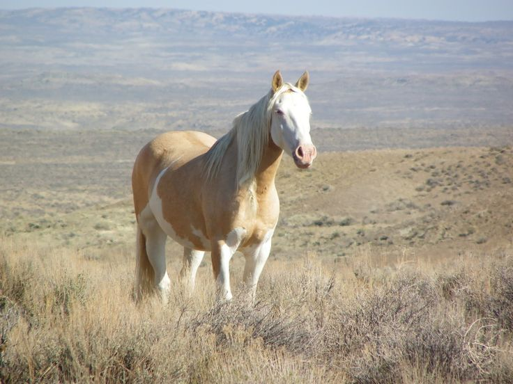 Gorgeous Wild Mustangs The Gorgeous Cheyenne She Was