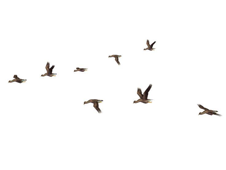 Flying Birds 04 Png Stock Birds Flying Birds Picsart Background
