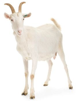 Goat Reproduction        Puberty: 3 to 7 months      Birth rate: 1 to 5 kids; twins most common      Gestation: 146 to 155 days      Birth weight: 2 to 9 pounds, depending on breed      Weaning age: 8 weeks