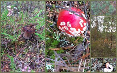 borowik prawdziwek grzyb