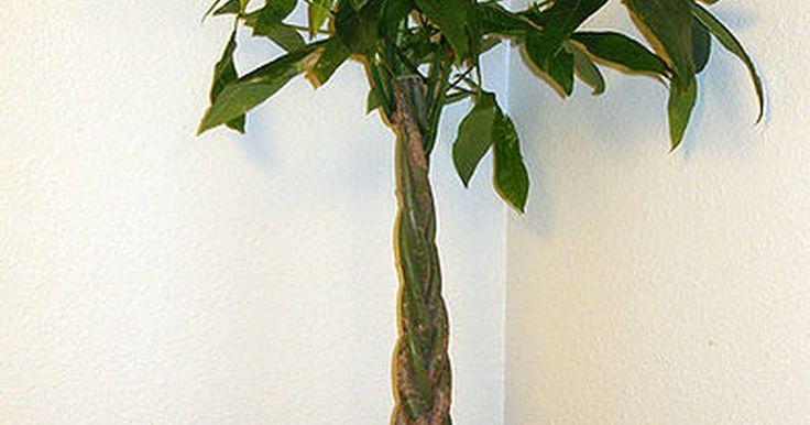Instrucciones para el cuidado de un árbol de dinero. El árbol de dinero, también conocido como Pachira Aquática, es una planta de fácil crecimiento, comúnmente utilizada en feng shui para producir vibraciones positivas y atraer la prosperidad del dueño. Es originaria de los pantanos de América del Sur y no toleraría temperaturas inferiores a los 28 F (-2,2 ºC), convirtiéndola en una típica planta de ...