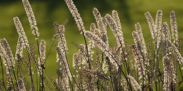 Traubensilberkerze lindert Hitzewallungen | Echte ... | Praxisvita