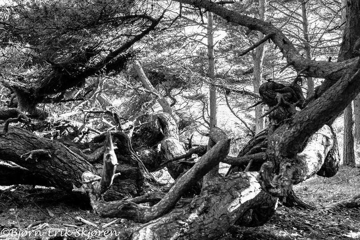 The troll pine by Bjørn-Erik Skjøren