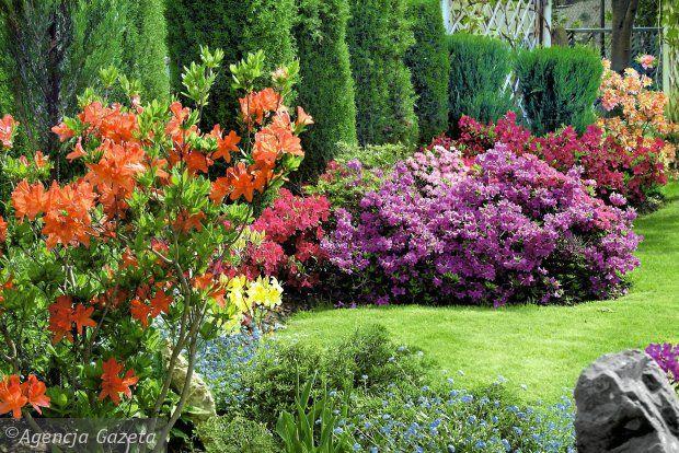 Obsypane gęsto kwiatami w maju i czerwcu stanowią silny akcent w każdym ogrodzie.