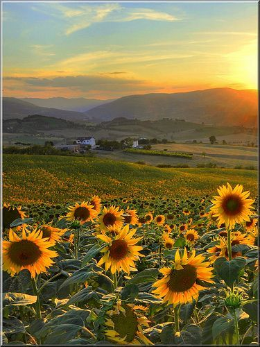 The SUN in Sunflowers - not sure where this is, but it looks lovely!
