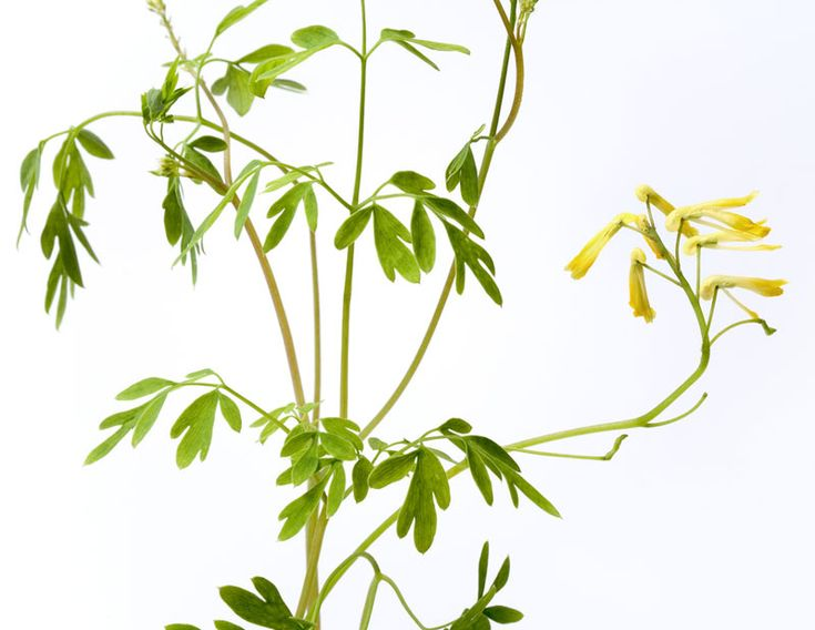 The Magical Uses of RueIn magick, Rue is often used for hex breaking and for warding off the evil eye. Rue is also a classic herb for protection magick and to increase your psychic powers; also, some old love spells call for rue. You can easily tuck a few rue leaves or flowers into a protective sachet.