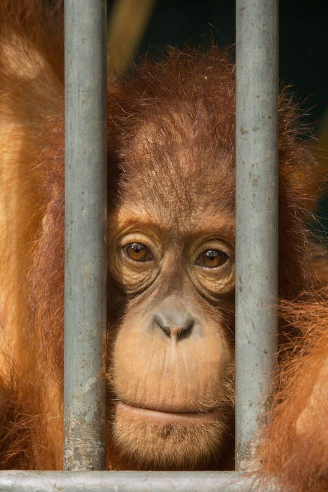 In den Urwäldern Sumatras spielt sich eine Tragödie ab: Weite Teile des Dschungels sind zerstört, Tierarten kurz vor der Ausrottung, uralte Kulturen am Rande ihrer Existenz. Wieso? Eine Multimedia-Reportage zu den letzten Orang-Utans....