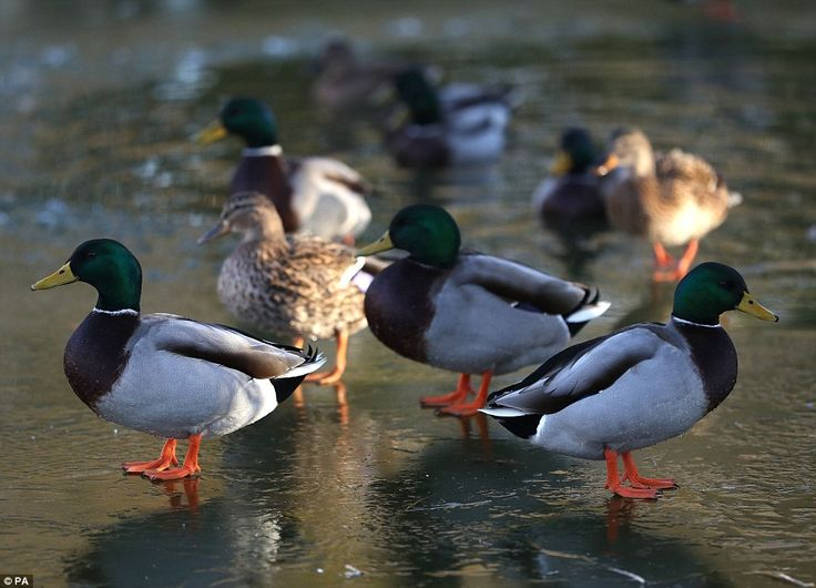 Ducks on a frozen duck pond in Hartley Wintney, Hampshire, as the country experiences anot...