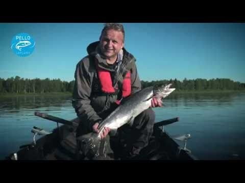 Salmon Fishing in Tornio River in Pello - Lapland Finland - Tornionjoki River Torne Älv fly fishing - YouTube