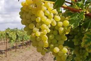 Прививка винограда летом – все от а до я о работе + Видео » Цветик-семицветик