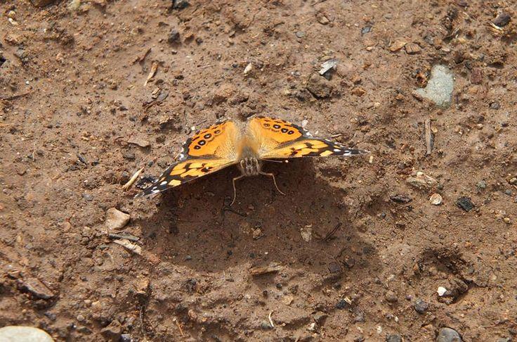 Tengo una leve fascinación por las mariposas :) #Pichasca #Ovalle #IV Región #Chile #Fotografía