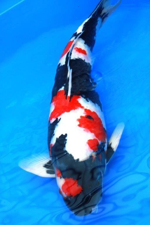 Les 124 meilleures images du tableau showa sur pinterest for Acheter poisson rouge 77