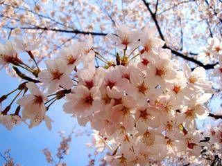 まるで何ごともなかったかの如く、東京の桜は2011年も満開を迎えた。春を春として謳歌する森羅万象。それを穢す存在は毛ほども見えず無味無臭。とまれ、咲き誇る桜に何の罪もなく。梢を見上げ、果敢に生きようね、と励ましあう。東日本大地震で被災された方々ならびに被災地に所縁の深いみなさまに心よりお見舞い申しあげます。あなたに、私に、世界中のいきものに、ひねもすのたりのたり平穏なときが訪れることを心底祈っております。東京は一部を除き比較的軽微な被害で、私自身は怪我もなく無事でしたが地震後にお見舞いのご連絡をくださった方々や、長らくブログを休止していることにご心配いただいたみなさまのお心遣いに感謝いたします。3.11から1か月。日々暗澹と憂える情報津波の渦中で、心の整理はつかない。けれど、さしたることもできないと自分を卑下し...