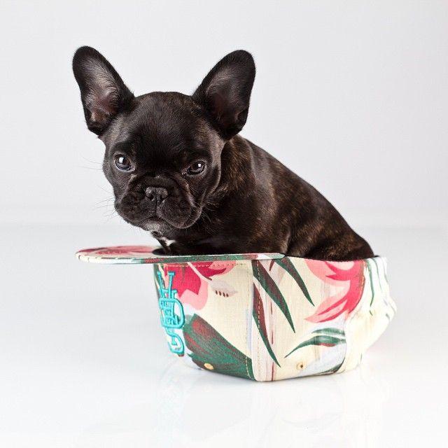 die besten 17 ideen zu lustige franz sische bulldogge auf. Black Bedroom Furniture Sets. Home Design Ideas