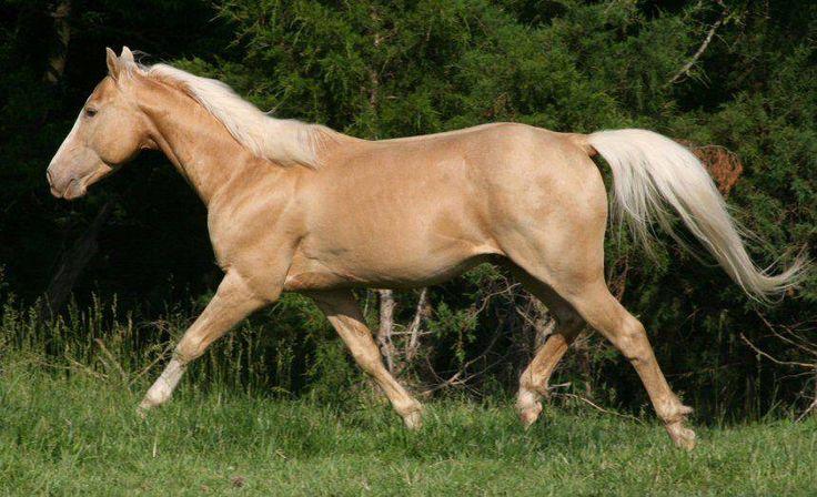 gold champagne - Quarter Horse mare Catty Cougarand