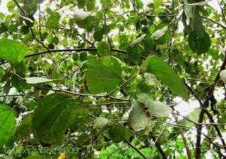 Pohon Kayu Minging atau Pohon Bidara Laut Versi 25 Jenis Nama Nama Kayu[4]