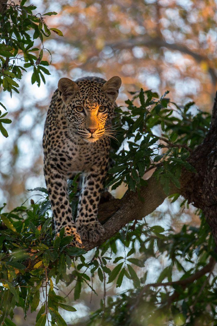 ... by Alexandr Sanin on 500px..  Leopard
