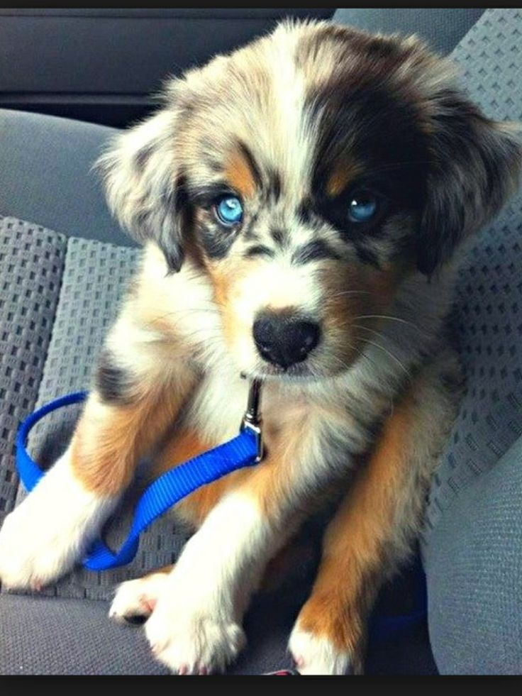 Husky corgi mix ❤️❤️❤️❤️ - looks more like an Austrailian shepherd but either way BEAUTIFUL