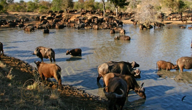 On the floodplains of Botswana you will find the Botswana Buffalo (one of the African Big 5) and are found on the floodplains of the Chobe River and the Okavango Delta.