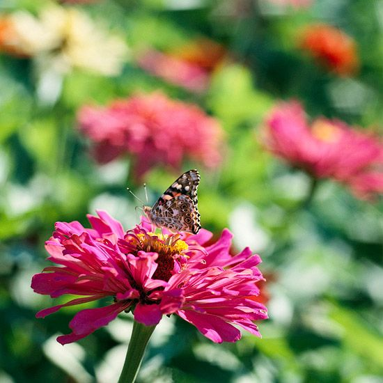 Zínia  Atraia borboletas no seu jardim