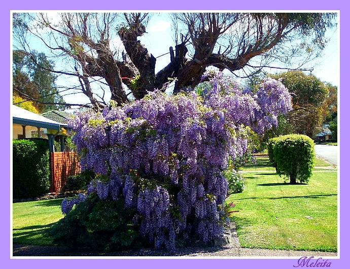 ANOTHER NEIGHBOURS WISTERIA
