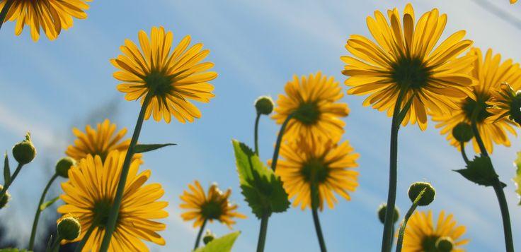 """Keltaisia kukkia ©Hennna: """"Kasvimaan keltaisia kukkia, jotka olivat aurinkoisena päivänä loistossaan."""""""