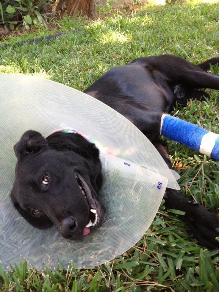 Skipper Foster dog, Labrador retriever, Dogs