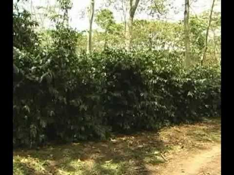 Procesos plantación cafe organico