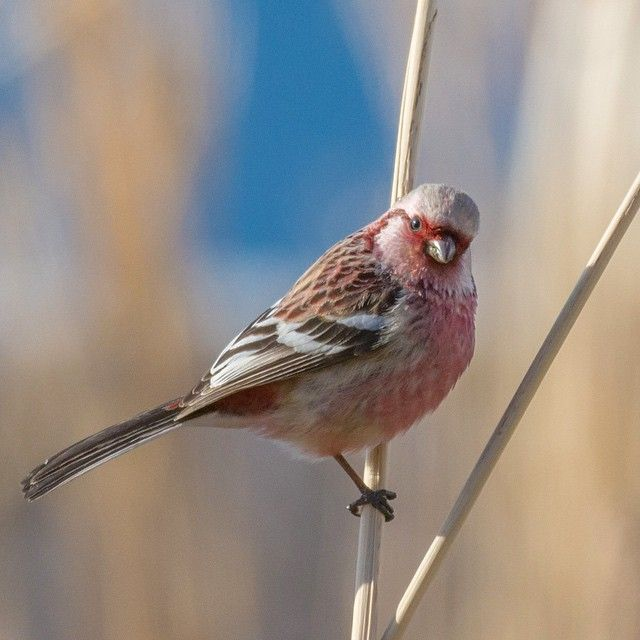 ベニマシコ Long tailed Rosefinch   #ベニマシコ #紅猿子 #Long_tailed_Rosefinch #動物 #野鳥 #北海道 #野生 #日本 #japan #hokkaido #bird #birdextreme #igbirds #animalelite #wildlife_seekers #wildlife_perfection #love_nature #feather_perfection #your_best_birds #myflagrants_birds #alalamiya #allmightybirds #icu_nature  #bella_shots #birdfreaks #nature_of_our_world #earth_shotz  #udog_feathers #conpixel #kings_birds