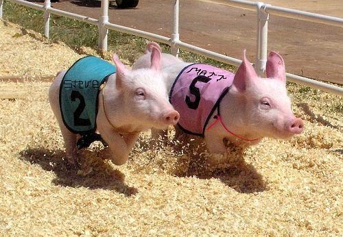 Who will save their bacon at YPA Pig Racing Night?