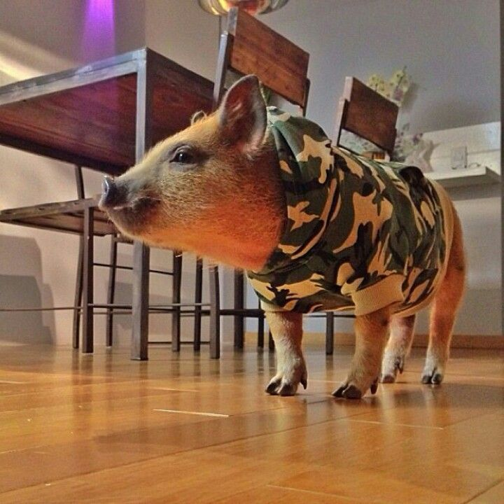 Mini pig.