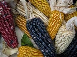 Resultado de imagen para fotos de maiz