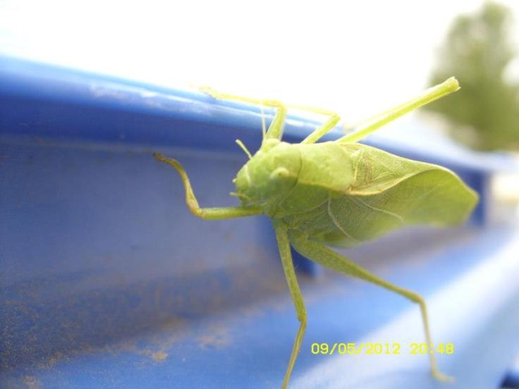 Leaf bug recycles lol