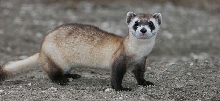 Ferret, Black-footed - Louisville Zoo