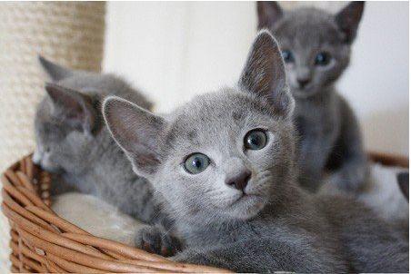 Razze di gatti: la fotogallery con le immagini più belle del Blu di Russia