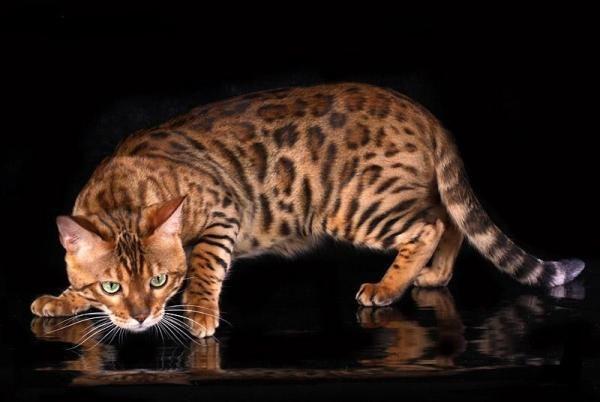 ledi_oks 5.Бенгальская  В отличие от других пород семейства кошачьи бенгальская кошка хорошо поддается дрессировке. Эти экзотические животные по своей природе очень ласковы, но при этом независимы. Интересно, что бенгальские кошки совершенно не боятся воды, поэтому в случае необходимости их можно будет свободно искупать в ванне.