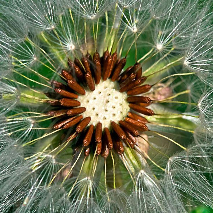 Dandelion-3 (seeds) by Loscar