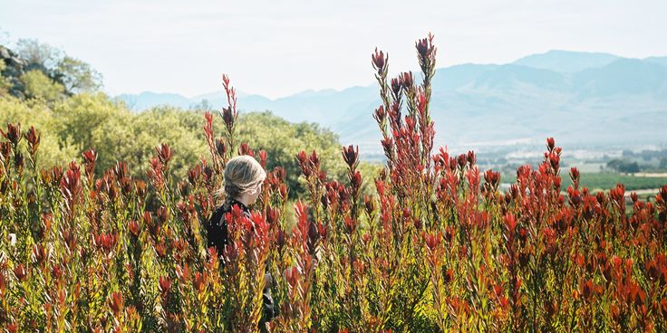 Fynbos at Babylonstoren. Farm walk for Hotel guests, Babylonstoren.