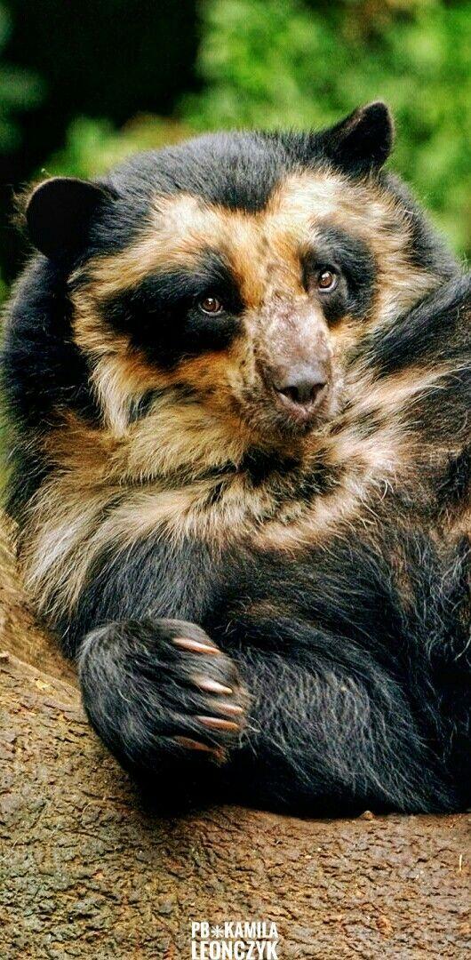 Thespectacled bear(Tremarctos ornatus), also known as theAndean bearorAndeanshort-facedbearand locally asjukumari(Aymara),ukumari(Quechua) orukuku, is the last remaining short-faced bear (subfamilyTremarctinae). Spectacled bears are the only surviving species of bear native to South America, and the only surviving member of the subfamily Tremarctinae. The species is classified asVulnerableby theIUCNbecause of habitat loss