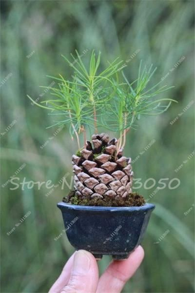 60 Pcs Rare Colorful Japanese Juniper Bonsai Starter Tree -Juniperus Procumbens 'Nana' Potted Plant for Home Garden Potted Plant